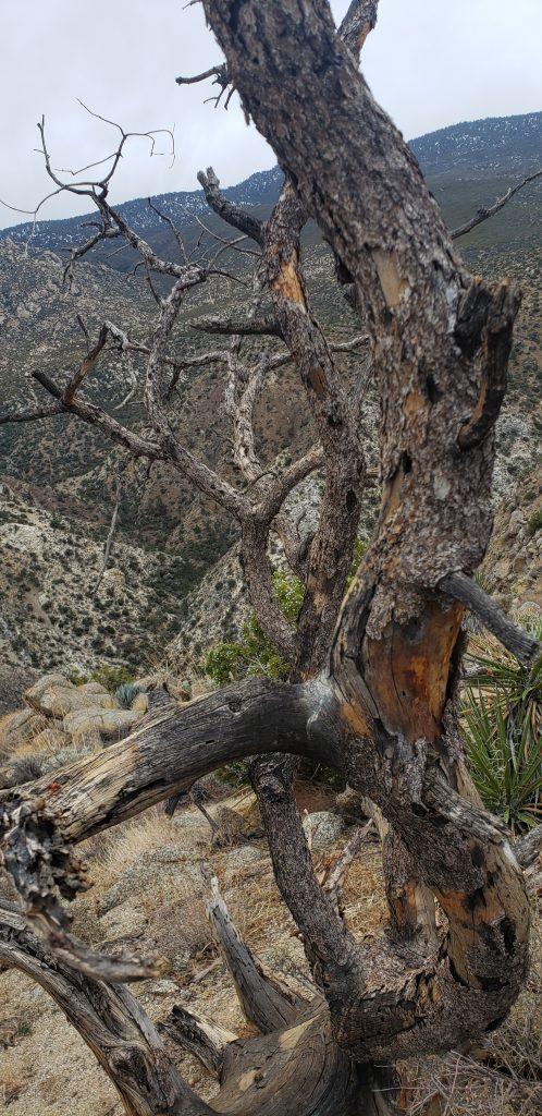 Picture of a dead pinion pine.
